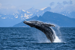 Kenai Fjords Humpback (scburgin) Tags: wildlife whales humpback whale breaching beautiful mountains nature ocean water nationalpark kenaifjords alaska blue powerful animal nikon d3300 travel adventure