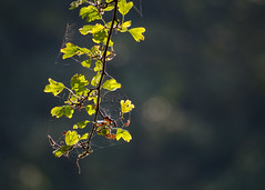 autumn is knocking on the door (Sabinche) Tags: outdoor tree leaf cobweb bokeh hbw autumn olympus sabinche