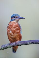 My friend is back ! (eric-d at gmx.net) Tags: kingfisher alcedoatthis alcedinidae eisvogel fish bird diamant eric