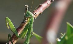 a long climb (Jen_Vee) Tags: insects mantis green climb yard garden