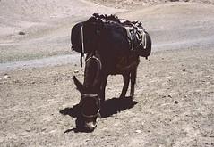 Ladakh 2005 (patrikmloeff) Tags: indien india inde indian indisch asien asia asie asian asiatisch erde earth terre monde welt world ferien urlaub vacances holiday holidays beautiful buddhismus buddhism ladakh analog analogue minolta sommer summer et little tibet travel traveling reise reisen voyage outdoor adventure trekking hiking wandern esel donkey tragtier fressen