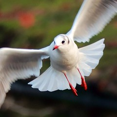 J77A1419 -- Close-up of a Black-headed Gull in flight, squared (Nils Axel Braathen -- Thanks a lot for +200K views) Tags: france nature birds canon wildlife gull ngc soe mouette fugler oiseaux blackheadedgull levsinet lachmwe greatphotographers mouetterieuse frameit hettemke flickrdiamond vogeln floraandfaunaoftheworld natureselegantshots gnneniyisithebestofday panoramafotogrfico chroicocephalusridibundus thebestofmimamorsgroups bestcapturesaoi elitegalleryaoi mygearandme mygearandmepremium esenciadelanaturaleza ringexcellence blinkagain sweetfreedom rememberthatmomentlevel4 rememberthatmomentlevel1 flickrsfinestimages1 flickrsfinestimages2 flickrsfinestimages3 magicmomentsinyourlifelevel2 magicmomentsinyourlifelevel1 rememberthatmomentlevel2 rememberthatmomentlevel3 magicmomentsinyourlifelevel3 magicmomentsinyourlifelevel4 rememberthatmomentlevel7 rememberthatmomentlevel9 rememberthatmomentlevel5 rememberthatmomentlevel6 rememberthatmomentlevel8 rememberthatmomentlevel10 onlythebestofflickr vigilantphotographersunite vpu2 vpu3 vpu4 vpu5 vpu6 vpu7 vpu8 vpu9 vpu10 frameitlevel3 frameitlevel2 frameitlevel4 frameitlevel5 frameitlevel6 frameitlevel7