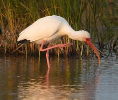 BI121119-589-White Ibis (lgooch) Tags: texas whiteibis eudocimusalbus southpadreisland taxonomy:binomial=eudocimusalbus november2012 southpadreislandbirdingandnaturecenter