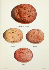 n522_w1150 (BioDivLibrary) Tags: greatbritain birds eggs eggcellent americanmuseumofnaturalhistorylibrary taxonomy:binomial=falcoperegrinus taxonomy:binomial=falcotinnunculus taxonomy:binomial=falcocolumbarius taxonomy:binomial=falcosubbuteo 598242 bhl:page=7583431 dc:identifier=httpbiodiversitylibraryorgpage7583431