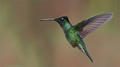 Magnificent Hummingbird in Flight (Raymond J Barlow) Tags: green nature costarica hummingbird wildlife adventure raymond avianexcellence raymondbarlowtours