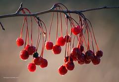Réserve (Monique Coulombe) Tags: light nature rouge lumière hiver petitsfruits