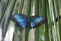 Morpho peleides and much smaller Heliconius sit on palm frond (jungle mama) Tags: ngc palmfrond morphopeleides heliconian fairchildgarden mfcc fairchildtropicalbotanicgarden supershot thegalaxy commonmorpho mygearandme wingsofthetropics brilliantbluebutterfly