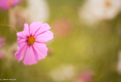 Remembering.... (Tativiris 111 (very busy will be back)) Tags: pink flower nature gerbera daisy bloom