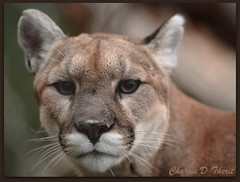Mountain Lion (ctofcsco) Tags: coloradosprings colorado unitedstates usa explore canon 5d 300mm springs united states co animal cat feline ef f28 l is usm ef300mm canonef300mmf28lisusm f28l 28l america northamerica telephoto bokeh classic eos5d eos5dclassic 5dclassic 5dmark1 5dmarki animals wildlife best wonderful perfect fabulous great photo pic picture image photograph