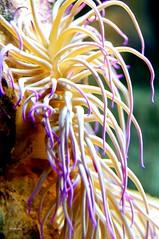 Actinia (wsrmatre) Tags: naturaleza nature anmona anmone actinia invertebrado invertbr ericlpezcontini ericlopezcontini ericlopezcontinifoto ericlopezcontiniphoto ericlopezcontiniphotography wsrmatrephotography wsrmatre