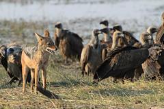 "Blackedbacked Jackal, Botswana • <a style=""font-size:0.8em;"" href=""https://www.flickr.com/photos/21540187@N07/8294362062/"" target=""_blank"">View on Flickr</a>"
