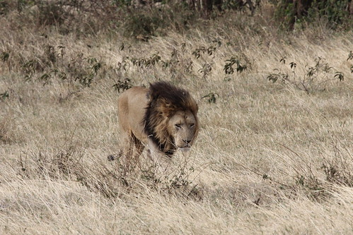 Lions in Ngorongoro Crater (19)