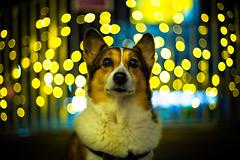 Look Forward to Tomorrow (moaan) Tags: dog hope 50mm lights corgi nightlights dof bokeh f14 joy illuminations lookup utata tomorrow welshcorgi 2012 ef50mmf14usm digitl pochiko canoneos5dmarkiii hopebringsjoy