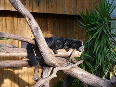 P1000241 (GeraldS) Tags: zoo darmstadt vivarium binturong arctictisbinturong marderbr