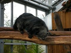P1000220 (GeraldS) Tags: zoo darmstadt vivarium binturong arctictisbinturong marderbr