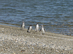 four penguins (thecoffeeloversguidetotheworld) Tags: chile patagonia beach penguins senootway