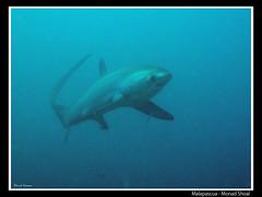 Malapascua - Monad Shoal (CATDvd) Tags: shark philippines filipinas malapascua underwaterphotography tiburn taur fotosub filipines catdvd threshershark monadshoal davidcomas canonpowershotg10 tiburnzorro august2012 httpwwwdavidcomasnet httpwwwflickrcomphotoscatdvd taurguineu zorromarino