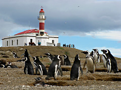 Penguins at Magdalena Island (Colorado Sands) Tags: chile southamerica patagonia magallanes southamerican americadelsud chileanpatagonia sandypoint magellanicpenguins breedingsite straitsofmagellan wildpenguins wildlife chilean magdalenaisland reserve islands penguinnationalnaturereserve penguin wild penguins aquatic aves seabirds pelican divingbirds pelikaan pelicano pelikan pélican naturereserve spheniscusmagellanicus southamericanpenguins puntaarenas isla islas breedinggrounds islamagdalena pingüinos colony faro lighthouse nesting sandraleidholdt waterbirds birds bird