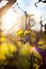 (drfugo) Tags: light summer england sun tree leaves leaf bush branch dof bokeh warmth depthoffield flare veins shrub twigs hahabush nikkors55mmf12 canon5dmkii nikon55mmf12s