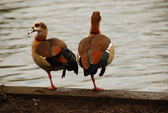 One legged ducks (rq uk) Tags: duck nikon egyptian nikkor berkshire dinton 18200mm d80 dintonpatures rquk
