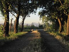 drake (x_arraz) Tags: chile dog chien english luz dogs farm perro solo campo perros setter granja englishsetter curico ingls setteringles