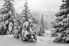 touch the snow (gregor H) Tags: trees winter mountain snow alps cold nature forest real austria skiing noiretblanc foggy powder downhill fresh skiresort firs nob laterns skigebiet pprowinner firstrees gapfohl seilbahnenlaterns