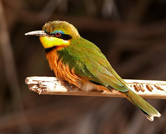 Bee-eater (Explored) (S Hutchinson) Tags: wild bird african safari perch beeeater