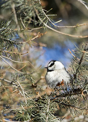 Mountain Chickadee (Deby Dixon) Tags: winter bird tourism nature photography nationalpark travels wildlife evergreen yellowstonenationalpark yellowstone wyoming avian mountainchickadee debydixonphotography