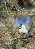 Mountain Chickadee (Deby Dixon) Tags: winter bird tourism nature photography nationalpark travels wildlife evergreen yellowstonenationalpark yellowstone wyoming avian mountainchickadee debydixonphotography