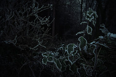 Still life (Paul M. Robinson) Tags: winter woodland dark countryside frozen woods hoarfrost ivy eerie westyorkshire encrusted savinroydwood