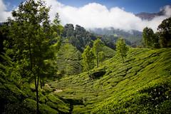Munnar Tea Gardens (veropie) Tags: travel india green trekking canon tea kerala hills traveller adventure explore backpacking traveling chai hikes hillstation southindia munnar threerivers southasia teagardens teaplantations incredibleindia kannandevanhills idukkidistrict