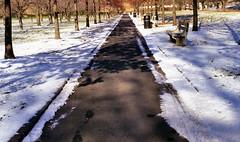 cherry esplanade, bbg (branko_) Tags: leica winter snow film brooklyn garden lens cherry screw c iii mount esplanade botanic 35 elmar leitz iiic