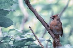 Northern Cardinal (pkpixels) Tags: cardinal wildlife