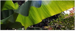 Banana (Torquay Palms) Tags: torquay torbay tor bay the english riviera south devon devons beautiful westcountry west country uk united kingdom gb great britain england abbey park gardens banana musa basjoo july 2016