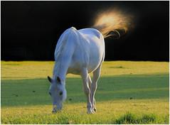 White Horse_002 (1) (cees van gastel) Tags: ceesvangastel canoneos550d horses paarden natuur nature animals dieren
