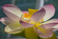 Indische Lotosblume - Nelumbo nucifera (John G. Wendler) Tags: lotosblume nelumbonucifera fau erlangen friedrichalexanderuniversität