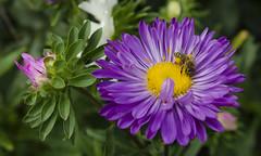 Aster (Nieogolony) Tags: przemysaw karpiski nieogolony nikon d5100 natura polacy polska plant flower kwiat kwiaty rolina outdoor flowers sun soce aster