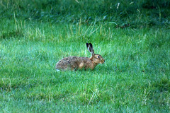 Barnack Hare (TC's Landscapes) Tags: hare
