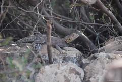 Agame de Bibron - Agama impalearis (Mathias Dezetter) Tags: reptile reptiles faune fauna animal herp herping herpetologie herpetofaune lizard lezard agame agama