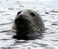 """I just popped up to say """"hello"""" (alpenfrankie) Tags: canon eos 1100d animals nature seal sealife mammal wildlife water"""