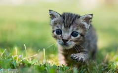 I primi passi... (Albi Nikon) Tags: gattino cucciolo giovane tigre tigrato campo prato fiorellini crescere bene nikon d7200 50 mm ritratti