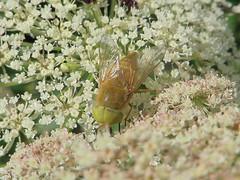 Atylotus loewianus mle (Didier Auberget Photographie) Tags: macro insecte insecta pterygota neoptera noptre diptera diptre brachycera tabanomorpha tabanidae tabanide atylotus taon mouche fly atylotusloewianusmle atylotusloewianus