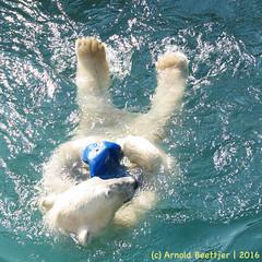 ijsberen_27 (Arnold Beettjer) Tags: wildlands emmen dierenpark dierentuin dierenparkemmen ijsbeer ijsberen polarbear