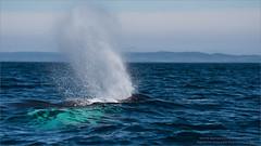 Humpback (Raymond J Barlow) Tags: whale humpback newfoundland phototours raymondbarlow wildlife travel outdoor workshop