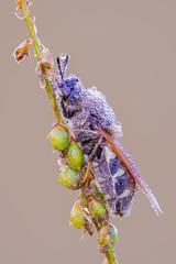 Stratiomyidae II (Siegfried Tremel) Tags: sonya6000 sigma180mmf28apomacroexdgoshsm novoflexcastelq newportlinearstage zerenestacker focusstack insect naturallight makro macro nature soldierfly stratiomyidae
