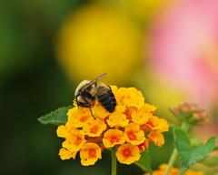 Bee at work (Gavin Edmondstone) Tags: bee bronteharbour oakville ontario