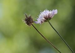 Mourir pour ton dcollet (Emmanuelle2Aime2Ailes) Tags: macro fleur scabieuse bokeh vert