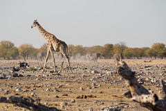 Shifts at the waterhole (abbobbotho) Tags: etosha namibia