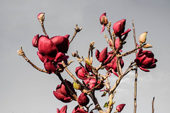 DSCF4498 (kiwibloke888) Tags: flowers spring magnolia garden botanical fujixt1 xf35f14 trees