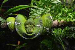 Coils (Toria_Rivera10) Tags: snake nature coils reptile green animal aqarium